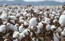 Η Περιφερειακή Ενότητα Καρδίτσας (Π.Ε) εξέδωσε το 3ο δελτίο γεωργικών προειδοποιήσεων στη βαμβακοκαλλιέργεια