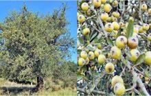 Γκορτσιά: Ένα παμπάλαιο ελληνικό δένδρο - Τα φύλλα της χρησιμοποιούνταν στη ιατρική από τα αρχαία χρόνια