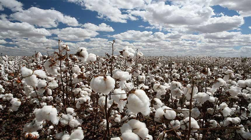2ο Δελτίο γεωργικών προειδοποιήσεων ολοκληρωμένης φυτοπροστασίας στην βαμβακοκαλλιέργεια της Π.Ε. Καρδίτσας