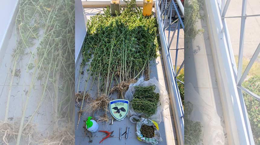 Εντοπίστηκε φυτεία δενδρυλλίων κάνναβης σε παραποτάμια περιοχή των Τρικάλων