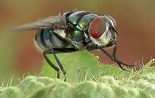 Οι μύγες μπορεί να μεταφέρουν ακόμα και 600 μικρόβια