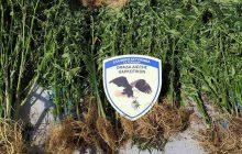 Εξαρθρώθηκε εγκληματική οργάνωση που δραστηριοποιούνταν στην καλλιέργεια δενδρυλλίων κάνναβης