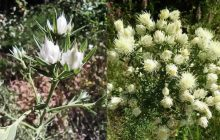 Ένα μοναδικό στον κόσμο φυτό …υπό την προστασία της ΠΕ Καρδίτσας