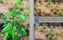 Εντοπίστηκαν τέσσερις φυτείες κάνναβης σε δύσβατη ορεινή περιοχή του Δήμου Αγιάς