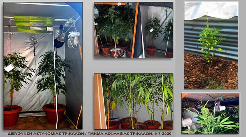 Τρίκαλα: 48 δενδρύλλια κάνναβης εντοπίστηκαν σε οικία και ποιμνιοστάσιο
