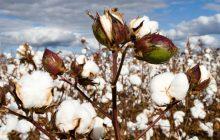Ενημέρωση βαμβακοπαραγωγών για την αποτελεσματική φυτοπροστασία της βαμβακοκαλλιέργειας