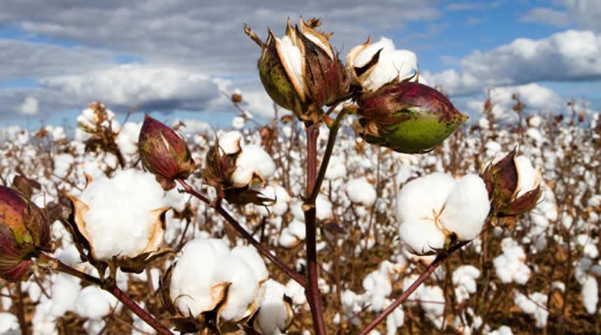 2ο Δελτίου γεωργικών προειδοποιήσων ολοκληρωμένης φυτοπροστασίας στη βαμβακοκαλλιέργεια της Περιφερειακή Ενότητας (ΠΕ) Καρδίτσας