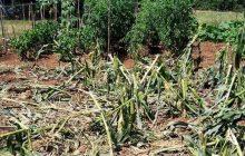 Τα αγριογούρουνα απόψε κατέστρεψαν κήπους στην Τρυγόνα με προτίμηση τα καλαμπόκια!