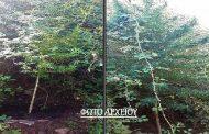 Εντοπίστηκε φυτεία δενδρυλλίων κάνναβης σε περιοχή του νομού Καρδίτσας