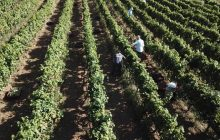 Ενημέρωση αμπελοκαλλιεργητών του Δήμου Καρδίτσας για την αποστακτική περίοδο 2020-2021