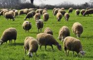 80.000 δόσεις εμβολίου για την αντιμετώπιση του καταρροϊκού πυρετού των προβάτων προμηθεύεται η Περιφέρεια Θεσσαλίας