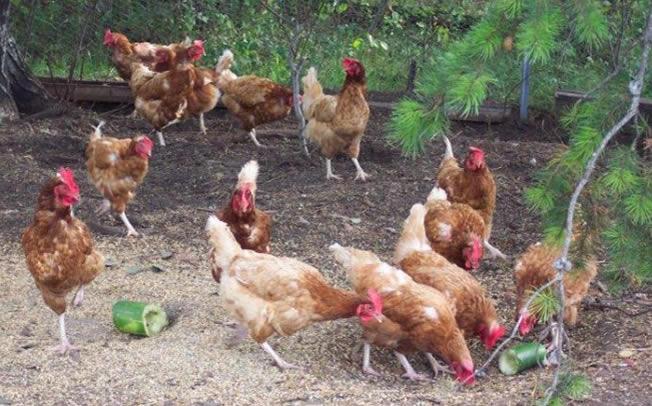 Διεύθυνση Κτηνιατρικής Περιφέρειας Θεσσαλίας: Οδηγίες προς τους κατόχους οικόσιτων πουλερικών