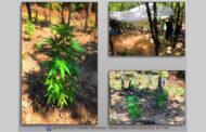 Εξιχνιάστηκε υπόθεση εντοπισμού φυτείας δενδρυλλίων κάνναβης σε δασώδη περιοχή του Δήμου Λίμνης Πλαστήρα